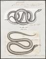 Coluber laevis - 1700-1880 - Print - Iconographia Zoologica - Special Collections University of Amsterdam - UBA01 IZ12100291.tif