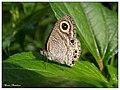 Common Fivering Ypthima baldus1 (15046528226).jpg