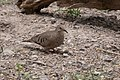 Common Ground-Dove San Pedro House & River Sierra Vista AZ 2019-05-06 11-52-31 (47762255252).jpg