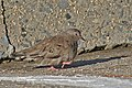 Common Ground Dove, Jones Beach, New York 1.jpg