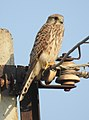 Common Kestrel Falco tinnunculus female by Dr. Raju Kasambe DSCN2086 (1).jpg