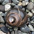 Common Periwinkle (Littorina littorea) - Lark Harbour, Newfoundland 2019-08-18 (03).jpg