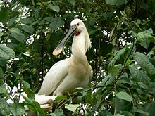 Common Spoonbill.jpg