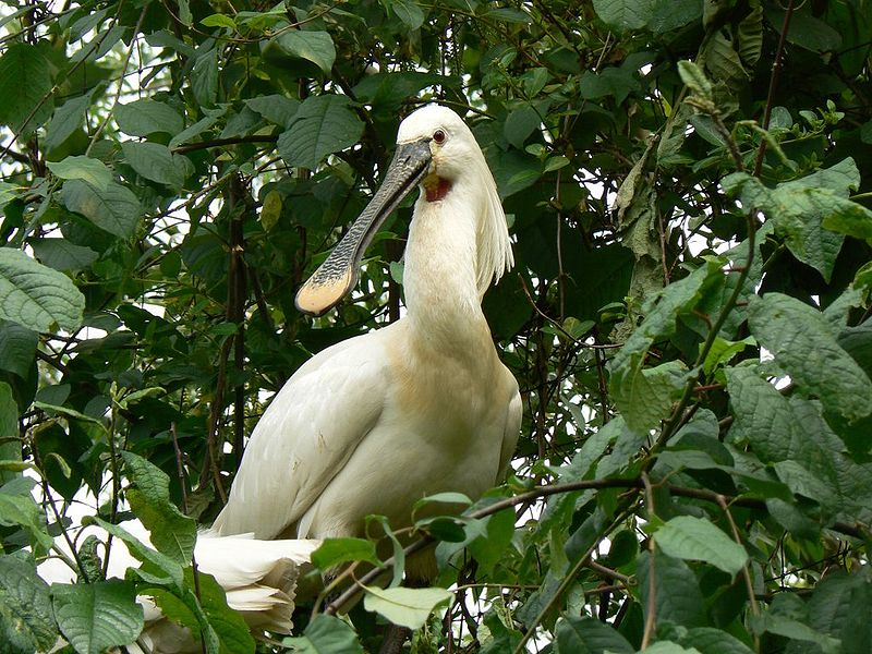 Файл:Common Spoonbill.jpg