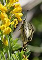 Common Yellow Swallowtail - Papilio machaon I IMG 6959.jpg