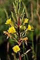 Common evening primrose (Oenothera biennis) on Seedskadee National Wildlife Refuge (28825458841).jpg