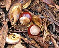 Conkers - geograph.org.uk - 1532739.jpg