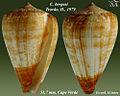 Conus borgesi 2.jpg