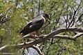 Cooper's Hawk Ash Canyon B&B Sierra Vista AZ 2017-05-14 08-40-17 (34376486470).jpg