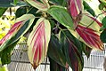 Cordyline fruticosa Kiwi 0zz.jpg