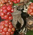 Coreus marginatus (Dock bug) - Flickr - S. Rae.jpg
