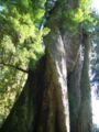 Corkskrewtree.jpg