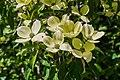 Cornus capitata in Christchurch Botanic Gardens 07.jpg