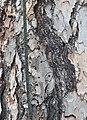 Corsican Pine Pinus nigra laricio Lightning Protection.JPG