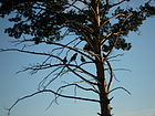 Corvus corax kamtschaticus, nortern Mongolia.JPG