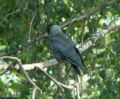 Corvus monedula 007.jpg