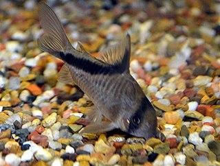 <i>Corydoras melini</i> species of freshwater catfish
