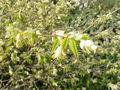 Corylopsis pauciflora0.jpg