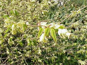 Saxifragales - Corylopsis pauciflora