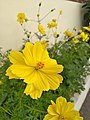 Cosmos caudatus (yellow).jpg