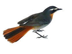 Cape robin-chat - Wikipedia