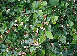 Cotoneaster-divaricatus.JPG