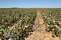 Cotton planted in corn residue on producer Bobby Byrd's farm in Hale County near Plainview, Texas. (25117199815).jpg