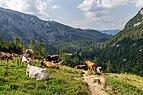Cows by Hesshütte, Gesäuse National Park, Ennstaler Alpen, Austria 07.jpg