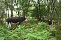 Cows grazing in birch woods at Bickerton - geograph.org.uk - 715766.jpg