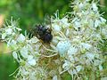 Crab Spider with fly. - Flickr - gailhampshire.jpg