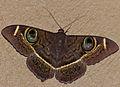 Cream-striped Owl (Cyligramma latona) (13798733195).jpg