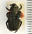 Cremastocheilus angularis Leconte, 1857 - 5450720869.jpg