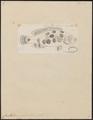 Crenilabrus notatus - 1774-1804 - Print - Iconographia Zoologica - Special Collections University of Amsterdam - UBA01 IZ13900207.tif