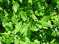 Crepis paludosa in spring.JPG