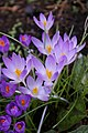 Crocus - geograph.org.uk - 1188647.jpg