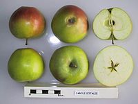 Cross section of Caroli d'Italie, National Fruit Collection (acc. 1947-318).jpg