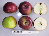Cross section of Democrat, National Fruit Collection (acc. 1948-744).jpg