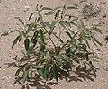 Croton texensis male habitus1.jpg