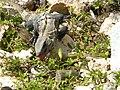 Ctenosaura similis (4003184924).jpg