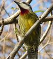 Cuban Green Woodpecker. Xiphidiopicus percussus - Flickr - gailhampshire.jpg