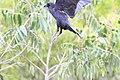 Cuervo - panoramio - panza-rayada.jpg