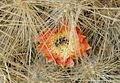 Cumulopuntia boliviana ssp. ingescens, Geisers del Tatio, Region de Antofagasta, Chile 01.JPG