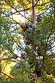 Cupressus glabra Sedona1.jpg