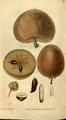 Curtis's Botanical Magazine, Plate 3112 (Volume 58, 1831).png