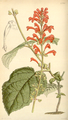 Curtis's Botanical Magazine, Plate 4290 (Volume 73, 1847).png
