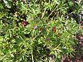 Cutleaf Geranium (Geranium dissectum) - Flickr - Jay Sturner.jpg