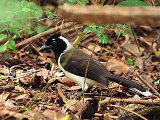 White-naped jay species of bird