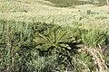 Cyathea dregei = Alsophila dregei (Cyatheaceae) (6932177629).jpg