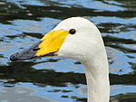 Cygnus cygnus -Regents Park, London, England -head-8.jpg