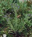 Cynoglossum creticum 3.jpg